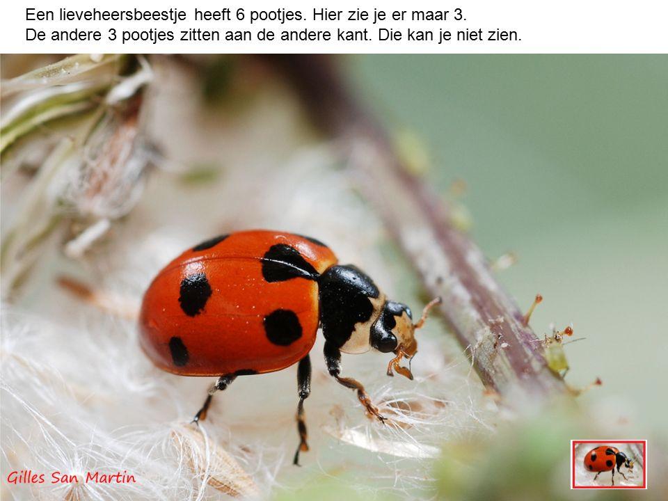 Een lieveheersbeestje heeft twee antennes op zijn kopje.