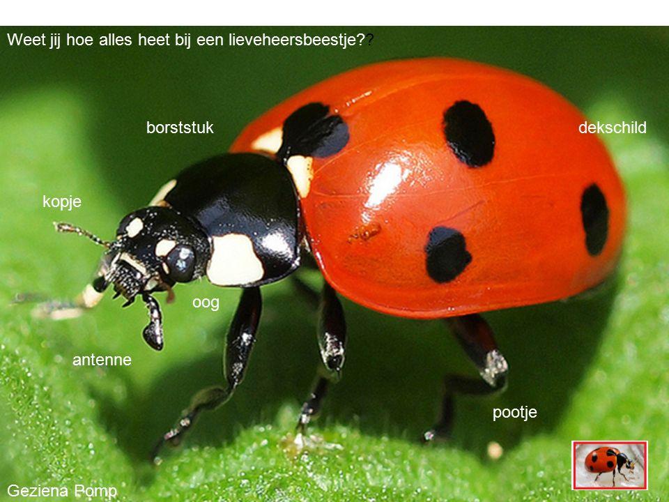 antenne dekschild pootje borststuk kopje Geziena Pomp oog Weet jij hoe alles heet bij een lieveheersbeestje??