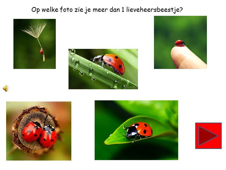 Op welke foto zie je meer dan 1 lieveheersbeestje