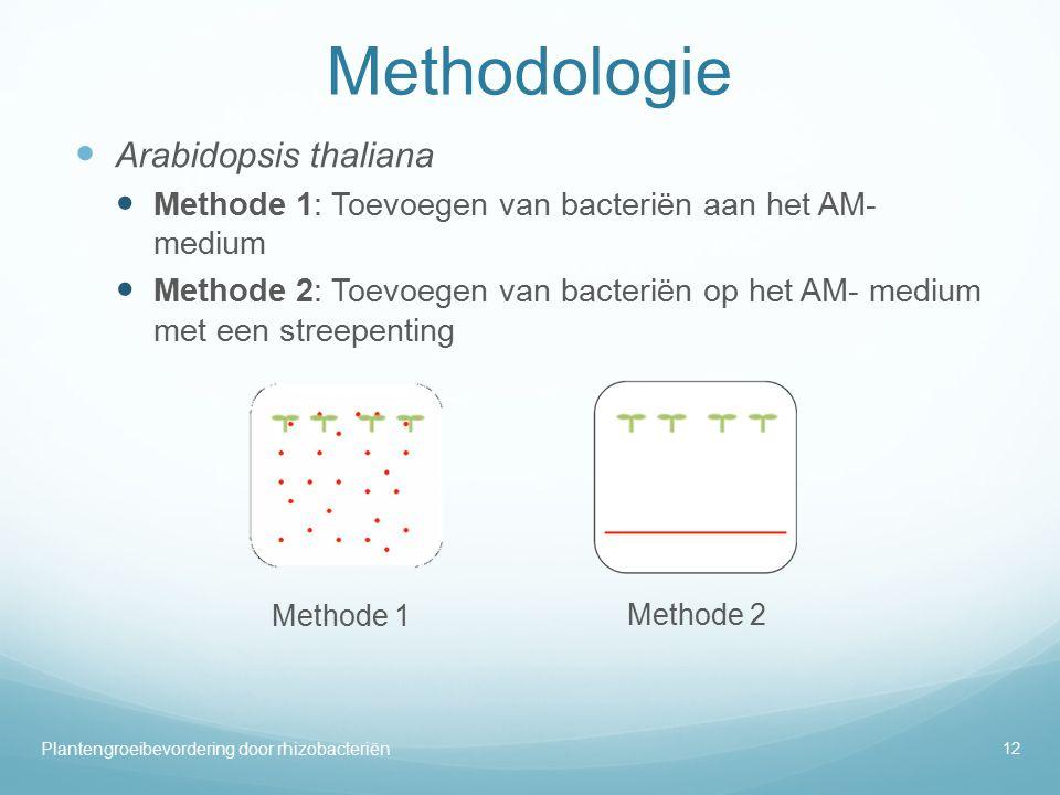 Methodologie Arabidopsis thaliana Methode 1: Toevoegen van bacteriën aan het AM- medium Methode 2: Toevoegen van bacteriën op het AM- medium met een streepenting 12 Plantengroeibevordering door rhizobacteriën Methode 1 Methode 2