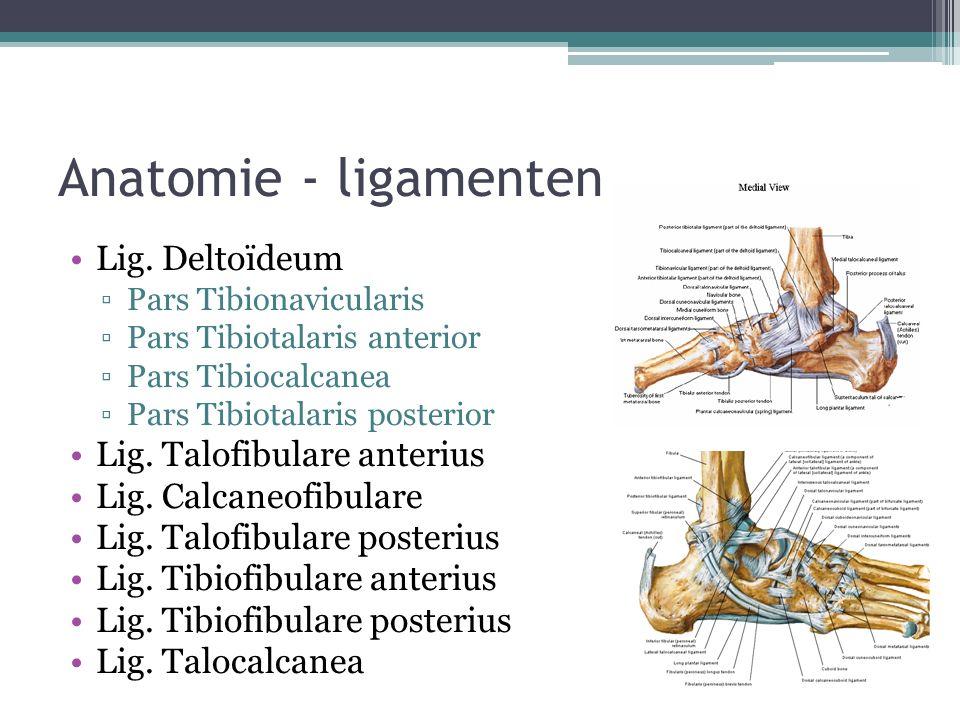 Anatomie - ligamenten Lig. Deltoïdeum ▫Pars Tibionavicularis ▫Pars Tibiotalaris anterior ▫Pars Tibiocalcanea ▫Pars Tibiotalaris posterior Lig. Talofib