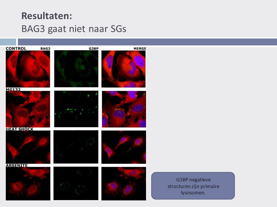 Resultaten: BAG3 gaat niet naar SGs G3BP negatieve structuren zijn primaire lysosomen.