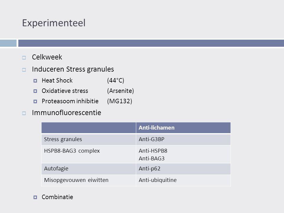 Experimenteel  Celkweek  Induceren Stress granules  Heat Shock(44°C)  Oxidatieve stress(Arsenite)  Proteasoom inhibitie(MG132)  Immunofluorescentie  Combinatie Anti-lichamen Stress granulesAnti-G3BP HSPB8-BAG3 complexAnti-HSPB8 Anti-BAG3 AutofagieAnti-p62 Misopgevouwen eiwittenAnti-ubiquitine