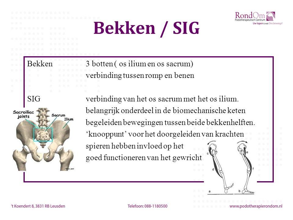 Bekken / SIG Bekken3 botten ( os ilium en os sacrum) verbinding tussen romp en benen SIGverbinding van het os sacrum met het os ilium. belangrijk onde