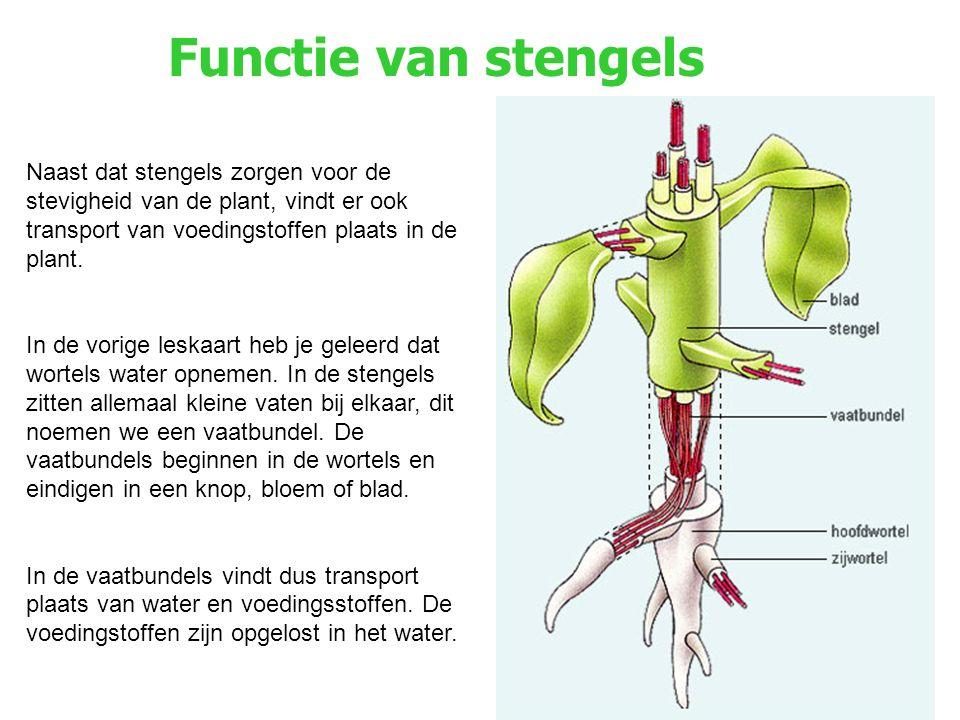 Functie van stengels Naast dat stengels zorgen voor de stevigheid van de plant, vindt er ook transport van voedingstoffen plaats in de plant. In de vo
