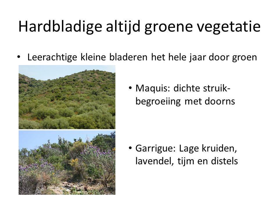Hardbladige altijd groene vegetatie Leerachtige kleine bladeren het hele jaar door groen Maquis: dichte struik- begroeiing met doorns Garrigue: Lage k