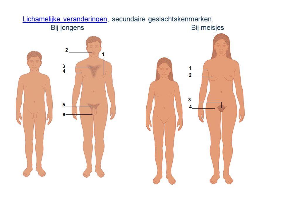 Lichamelijke veranderingenLichamelijke veranderingen, secundaire geslachtskenmerken. Bij jongensBij meisjes