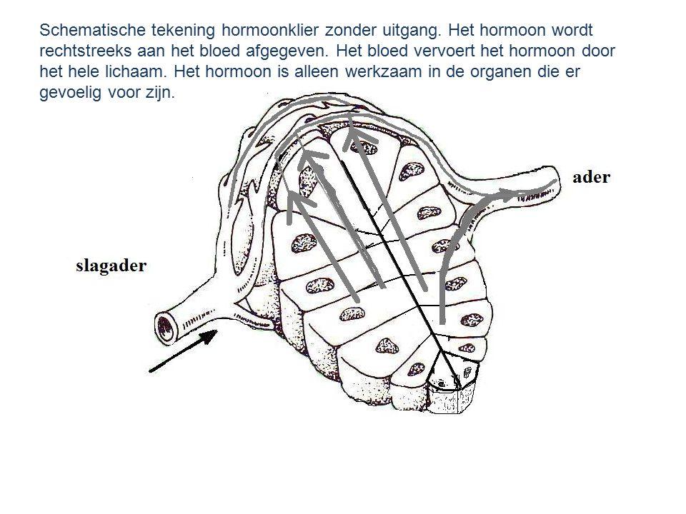 Schematische tekening hormoonklier zonder uitgang. Het hormoon wordt rechtstreeks aan het bloed afgegeven. Het bloed vervoert het hormoon door het hel
