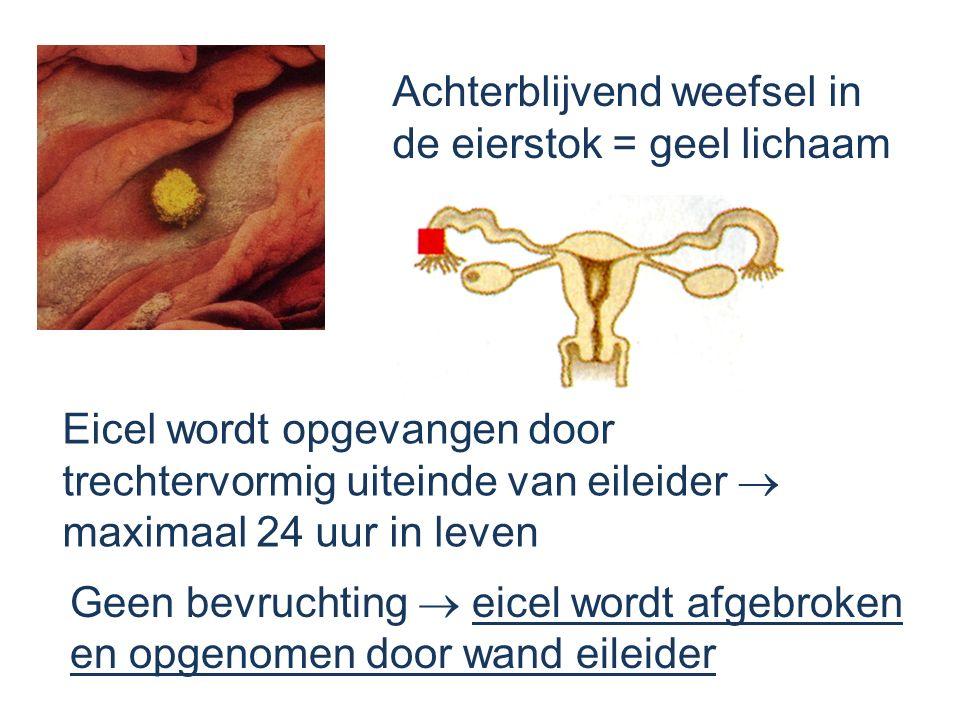 Achterblijvend weefsel in de eierstok = geel lichaam Eicel wordt opgevangen door trechtervormig uiteinde van eileider  maximaal 24 uur in leven Geen