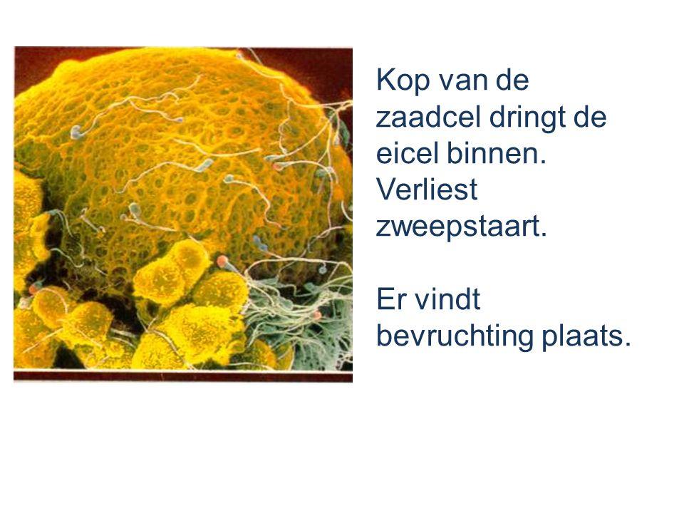Kop van de zaadcel dringt de eicel binnen. Verliest zweepstaart. Er vindt bevruchting plaats.