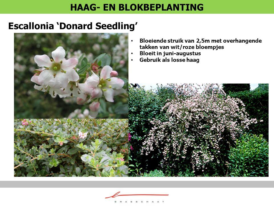 Escallonia 'Donard Seedling' Bloeiende struik van 2,5m met overhangende takken van wit/roze bloempjes Bloeit in juni-augustus Gebruik als losse haag H