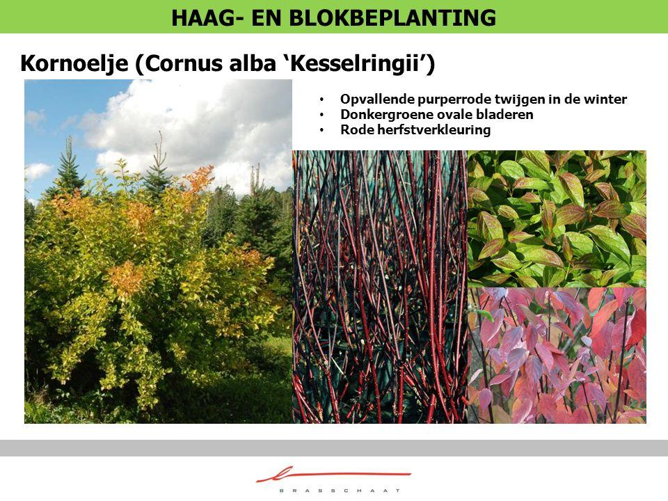 Kornoelje (Cornus alba 'Kesselringii') Opvallende purperrode twijgen in de winter Donkergroene ovale bladeren Rode herfstverkleuring HAAG- EN BLOKBEPL