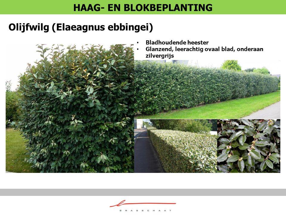 Olijfwilg (Elaeagnus ebbingei) Bladhoudende heester Glanzend, leerachtig ovaal blad, onderaan zilvergrijs HAAG- EN BLOKBEPLANTING