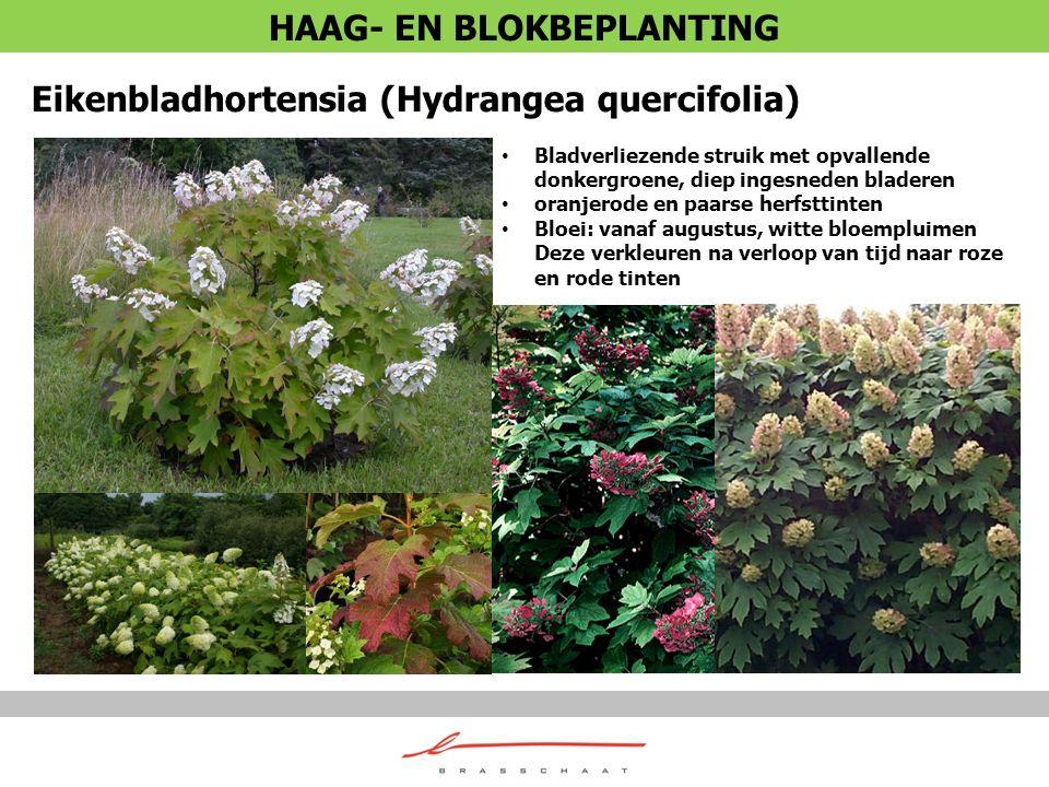 Eikenbladhortensia (Hydrangea quercifolia) Bladverliezende struik met opvallende donkergroene, diep ingesneden bladeren oranjerode en paarse herfsttin