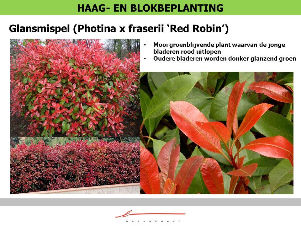 Glansmispel (Photina x fraserii 'Red Robin') Mooi groenblijvende plant waarvan de jonge bladeren rood uitlopen Oudere bladeren worden donker glanzend