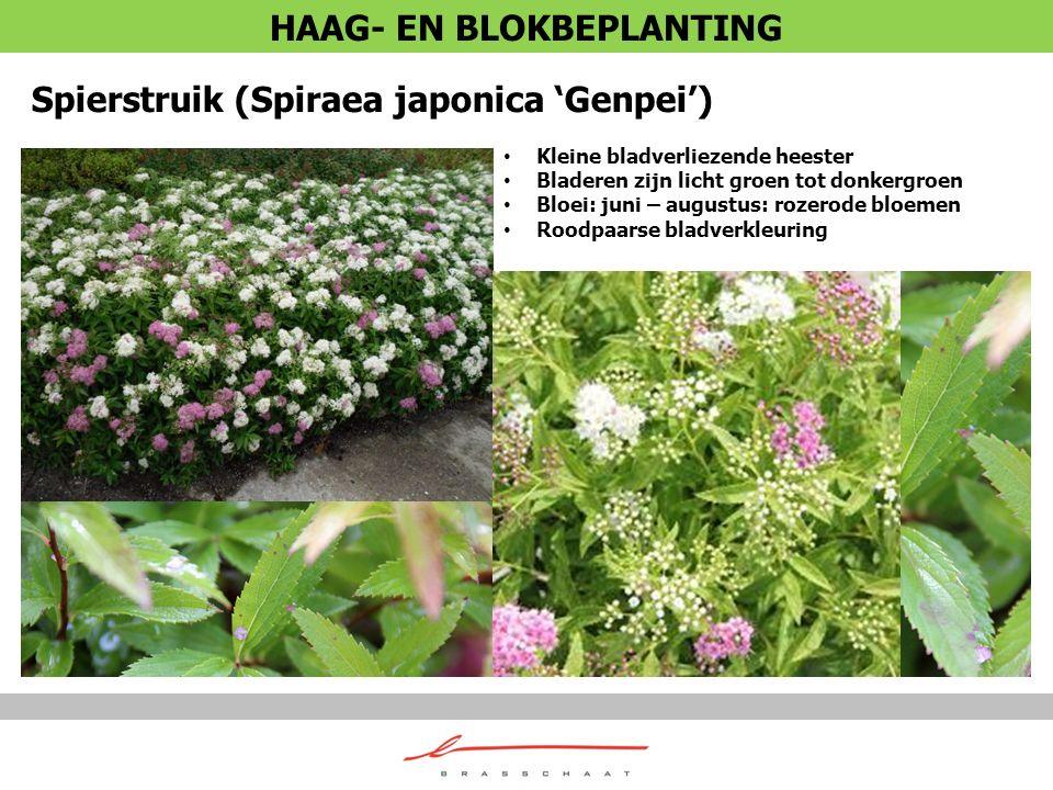Spierstruik (Spiraea japonica 'Genpei') Kleine bladverliezende heester Bladeren zijn licht groen tot donkergroen Bloei: juni – augustus: rozerode bloe