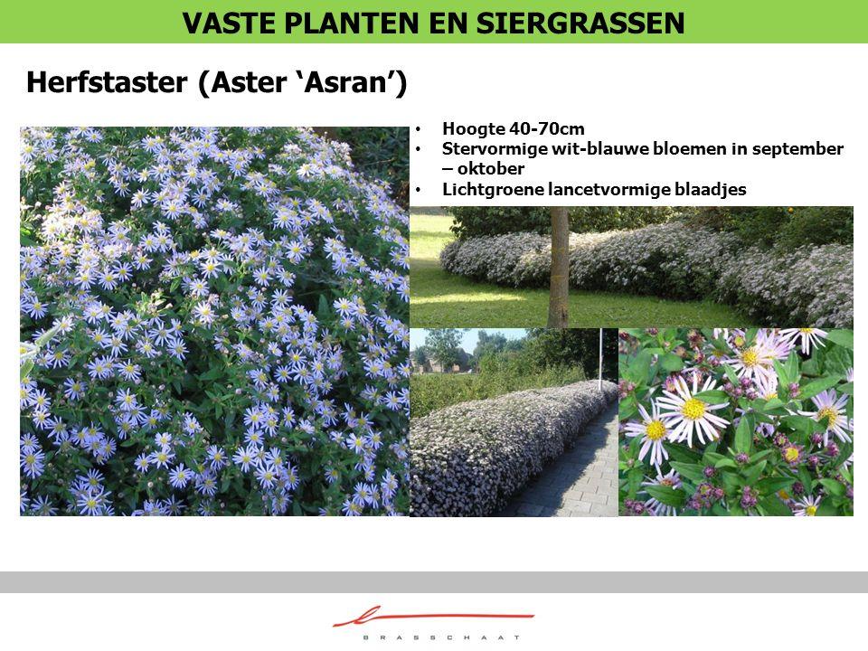 Herfstaster (Aster 'Asran') Hoogte 40-70cm Stervormige wit-blauwe bloemen in september – oktober Lichtgroene lancetvormige blaadjes VASTE PLANTEN EN S