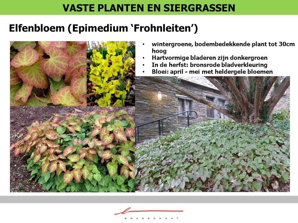 Elfenbloem (Epimedium 'Frohnleiten') wintergroene, bodembedekkende plant tot 30cm hoog Hartvormige bladeren zijn donkergroen In de herfst: bronsrode b