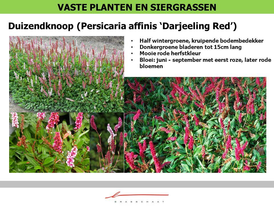 Duizendknoop (Persicaria affinis 'Darjeeling Red') Half wintergroene, kruipende bodembedekker Donkergroene bladeren tot 15cm lang Mooie rode herfstkle