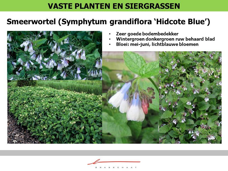 Smeerwortel (Symphytum grandiflora 'Hidcote Blue') Zeer goede bodembedekker Wintergroen donkergroen ruw behaard blad Bloei: mei-juni, lichtblauwe bloe