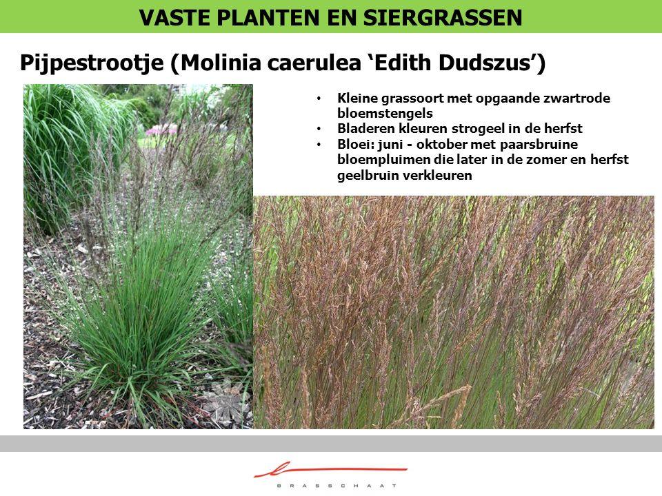 Pijpestrootje (Molinia caerulea 'Edith Dudszus') Kleine grassoort met opgaande zwartrode bloemstengels Bladeren kleuren strogeel in de herfst Bloei: j