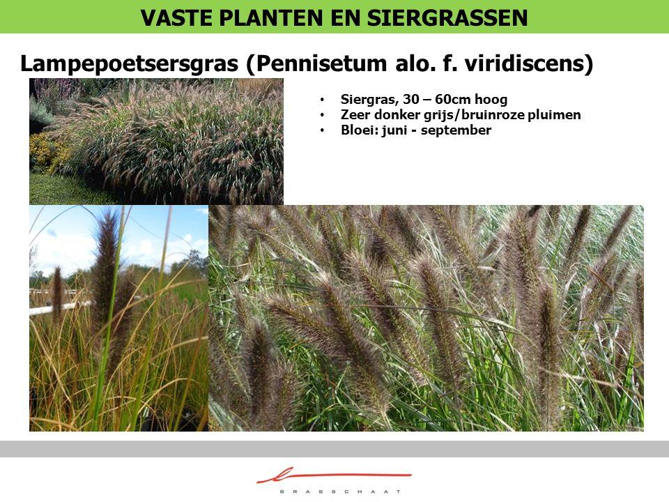 Lampepoetsersgras (Pennisetum alo. f. viridiscens) Siergras, 30 – 60cm hoog Zeer donker grijs/bruinroze pluimen Bloei: juni - september VASTE PLANTEN