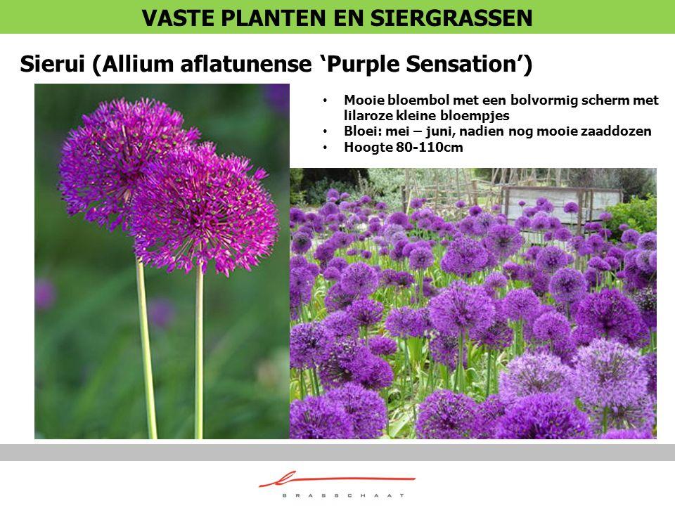 Sierui (Allium aflatunense 'Purple Sensation') Mooie bloembol met een bolvormig scherm met lilaroze kleine bloempjes Bloei: mei – juni, nadien nog moo