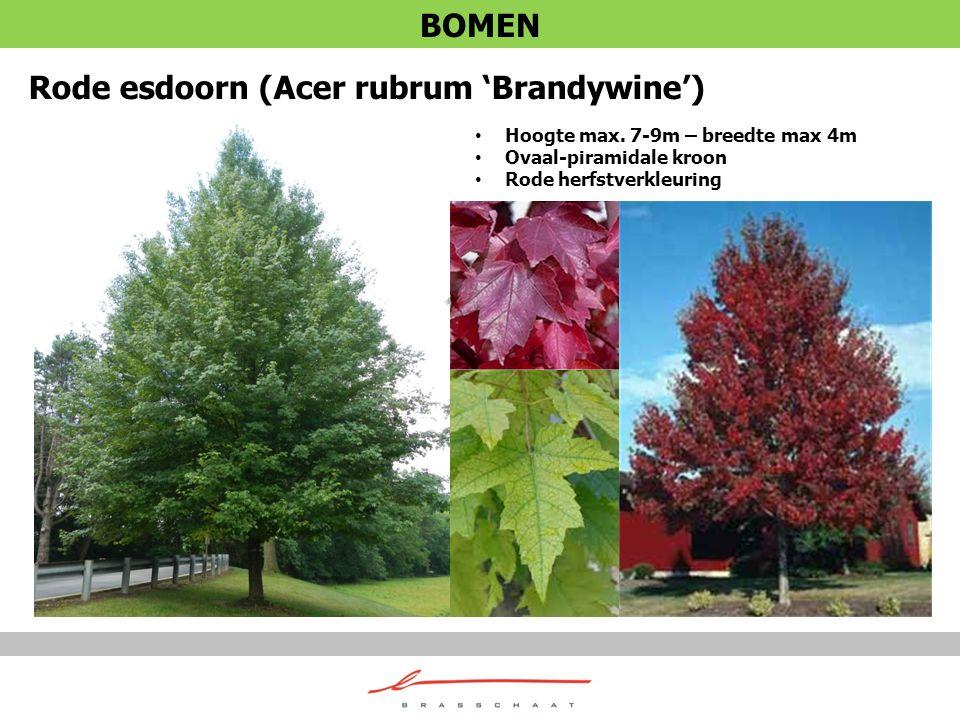 Rode esdoorn (Acer rubrum 'Brandywine') Hoogte max. 7-9m – breedte max 4m Ovaal-piramidale kroon Rode herfstverkleuring BOMEN