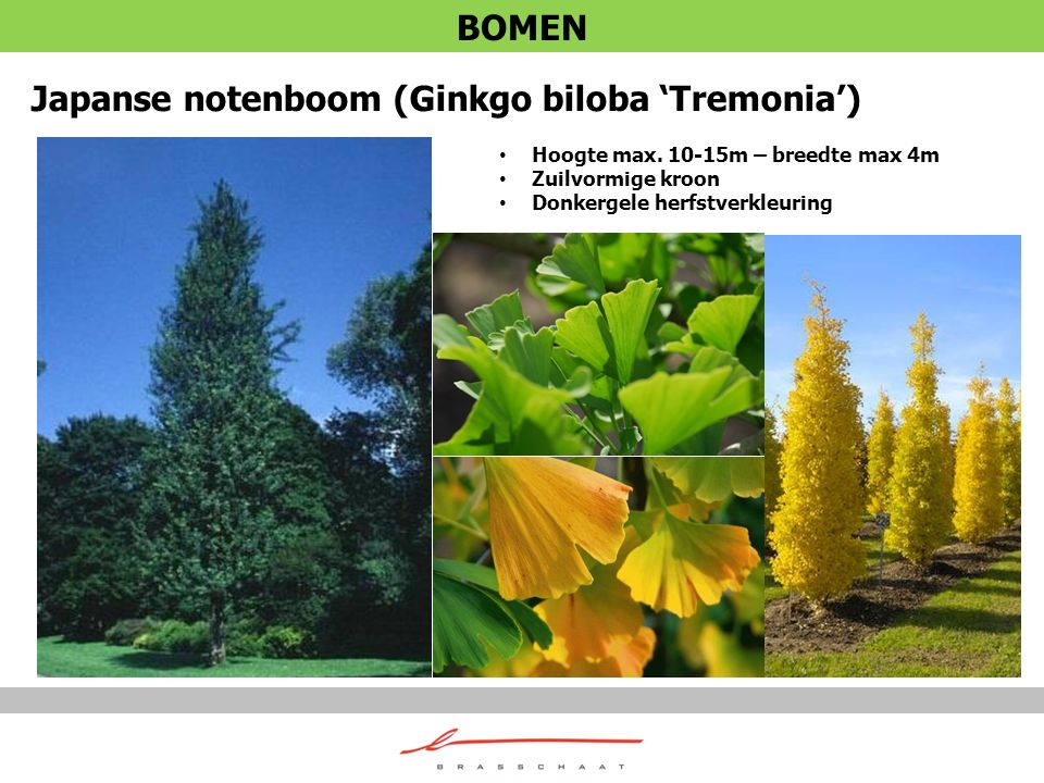 Japanse notenboom (Ginkgo biloba 'Tremonia') Hoogte max. 10-15m – breedte max 4m Zuilvormige kroon Donkergele herfstverkleuring BOMEN