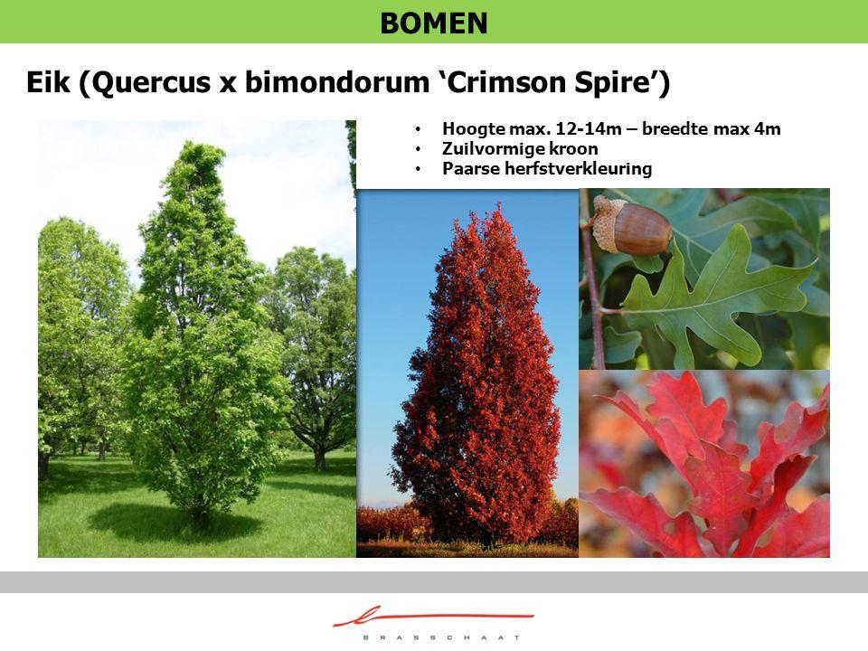 Eik (Quercus x bimondorum 'Crimson Spire') Hoogte max. 12-14m – breedte max 4m Zuilvormige kroon Paarse herfstverkleuring BOMEN