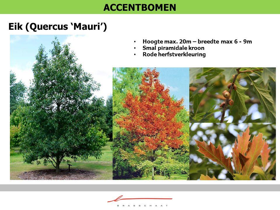 Eik (Quercus 'Mauri') Hoogte max. 20m – breedte max 6 - 9m Smal piramidale kroon Rode herfstverkleuring ACCENTBOMEN