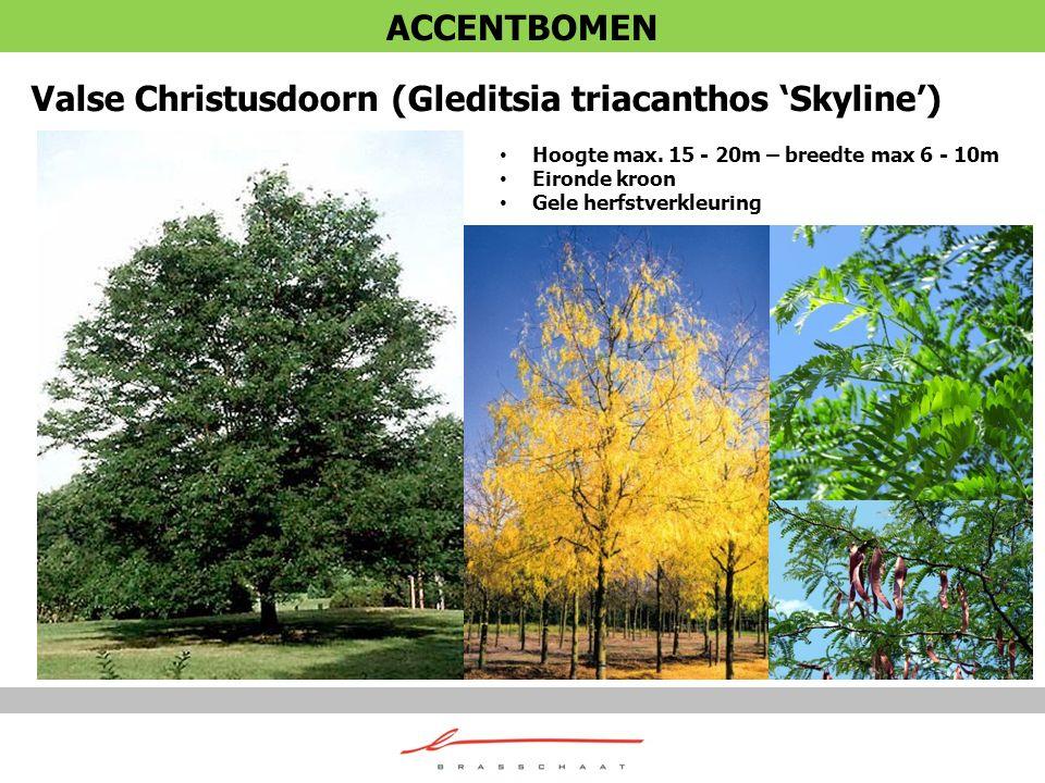 Valse Christusdoorn (Gleditsia triacanthos 'Skyline') Hoogte max. 15 - 20m – breedte max 6 - 10m Eironde kroon Gele herfstverkleuring ACCENTBOMEN