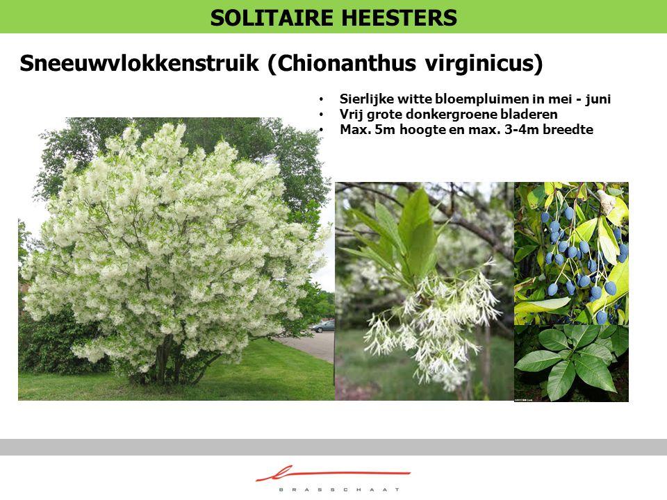 Sneeuwvlokkenstruik (Chionanthus virginicus) Sierlijke witte bloempluimen in mei - juni Vrij grote donkergroene bladeren Max. 5m hoogte en max. 3-4m b