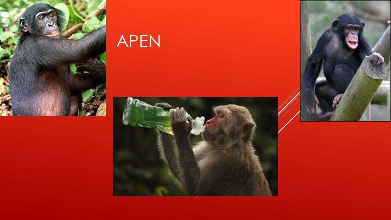 APEN ETEN VOORAL BANANEN EN ZE KUNNEN HEEL GOED KLIMMEN  Apen zijn familiedieren en eten daarom bananen maar ze eten ook noten maar ook nog andere dingen  noten