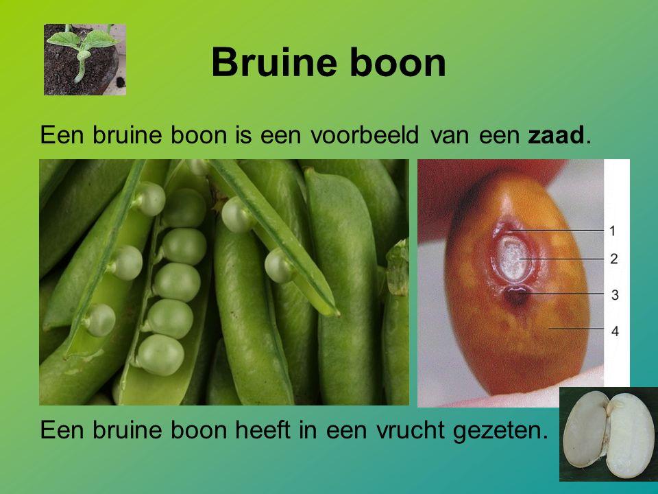 Bruine boon Een bruine boon is een voorbeeld van een zaad. Een bruine boon heeft in een vrucht gezeten.