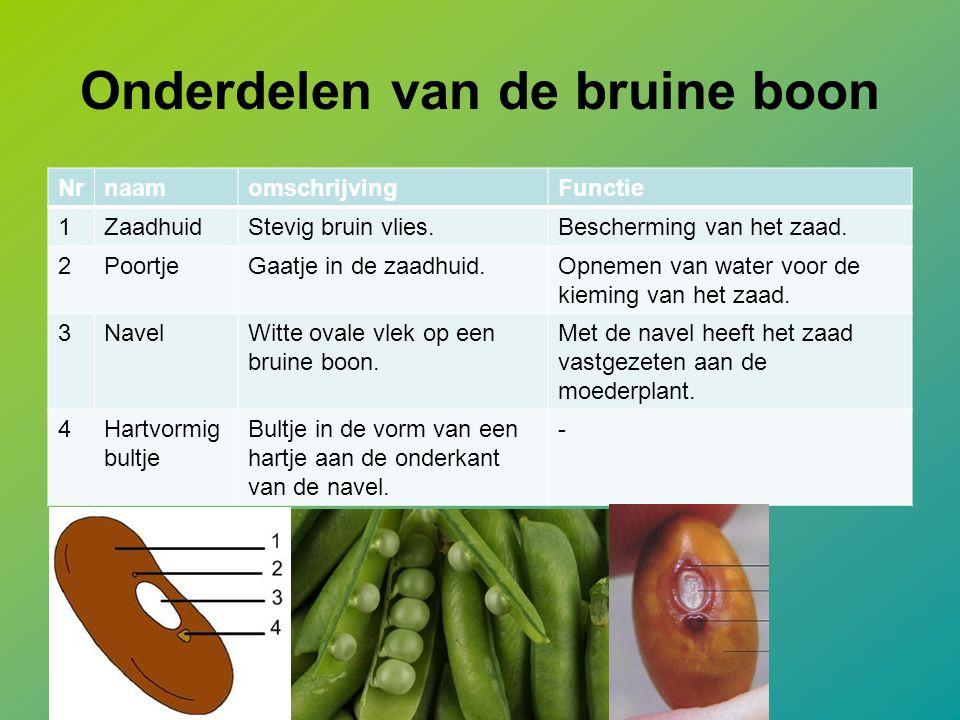Onderdelen van de bruine boon NrnaamomschrijvingFunctie 1ZaadhuidStevig bruin vlies.Bescherming van het zaad.