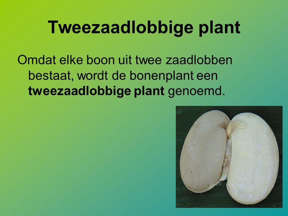 Tweezaadlobbige plant Omdat elke boon uit twee zaadlobben bestaat, wordt de bonenplant een tweezaadlobbige plant genoemd.