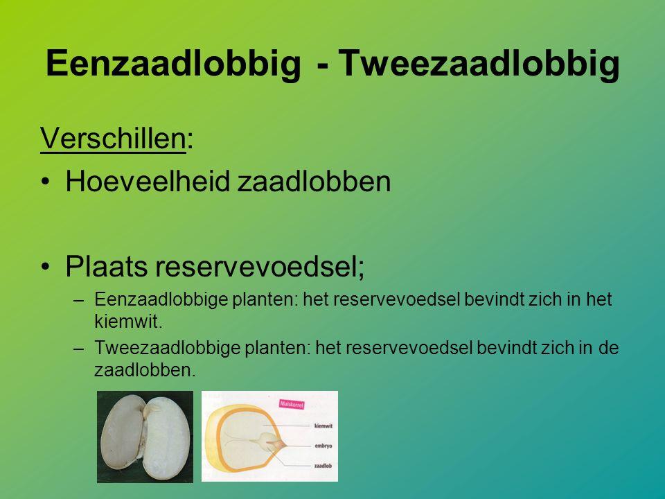 Eenzaadlobbig - Tweezaadlobbig Verschillen: Hoeveelheid zaadlobben Plaats reservevoedsel; –Eenzaadlobbige planten: het reservevoedsel bevindt zich in het kiemwit.