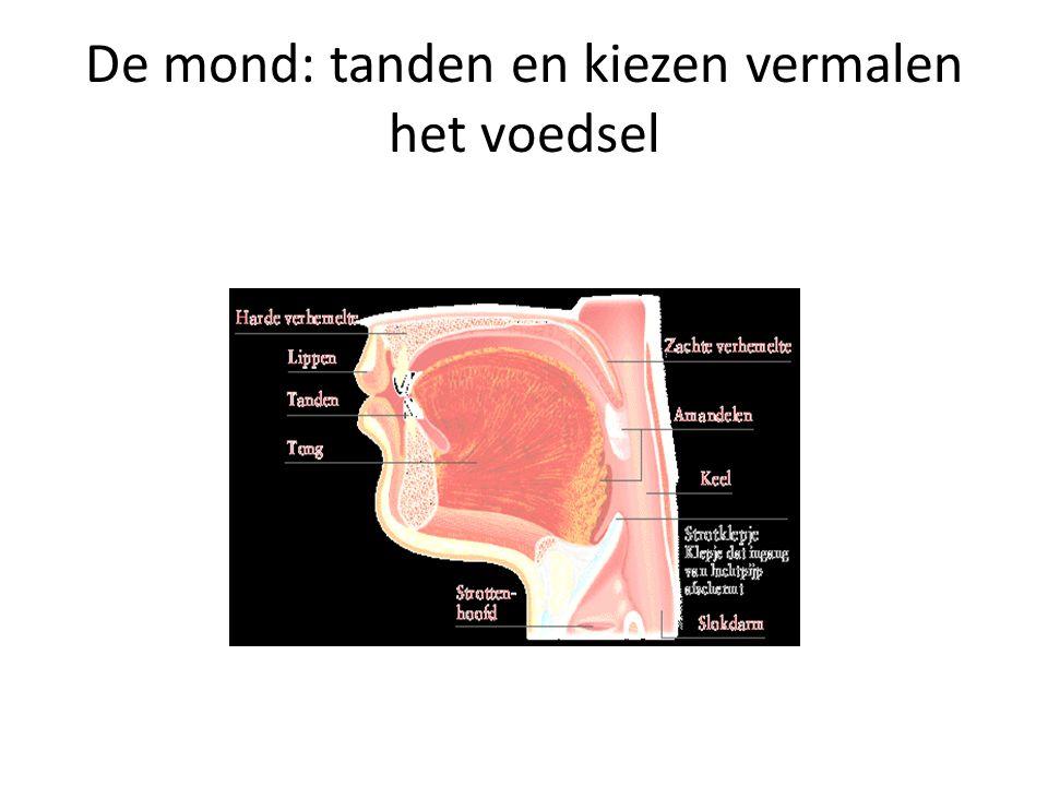 Slokdarm:brengt voedsel via de mond naar de maag via peristatische beweging