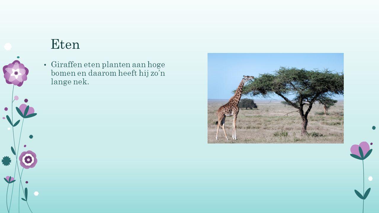 Eten Giraffen eten planten aan hoge bomen en daarom heeft hij zo'n lange nek.