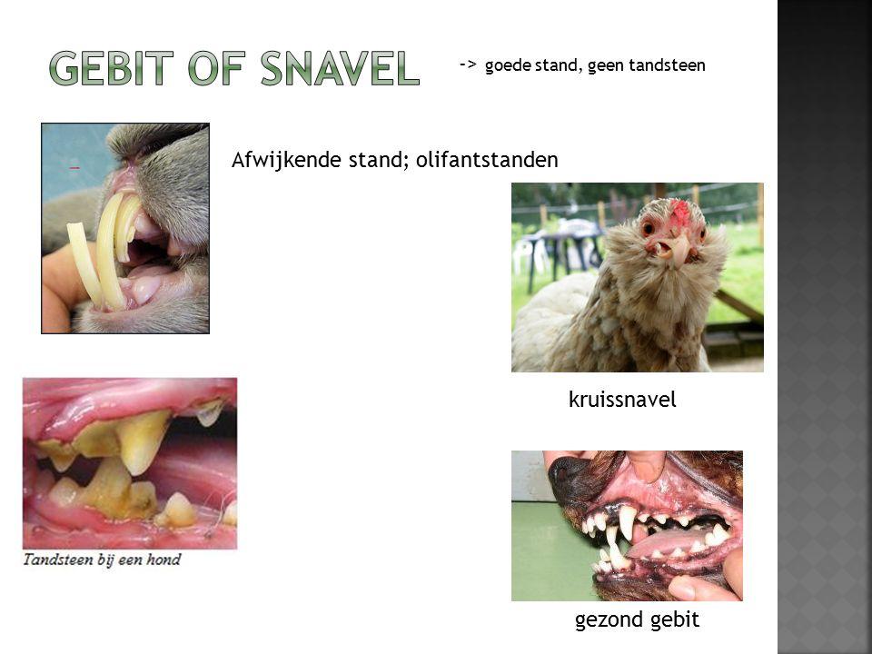 Afwijkende stand; olifantstanden gezond gebit -> goede stand, geen tandsteen kruissnavel