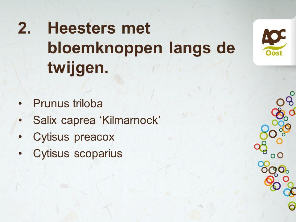 2. Heesters met bloemknoppen langs de twijgen. Prunus triloba Salix caprea 'Kilmarnock' Cytisus preacox Cytisus scoparius