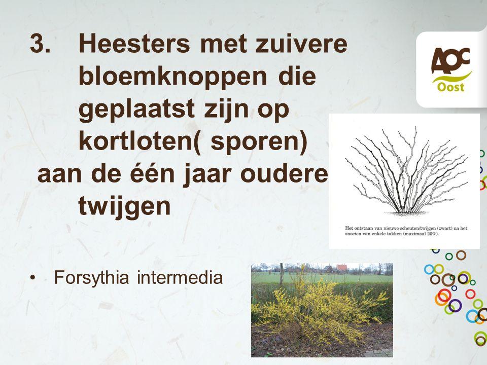 3.Heesters met zuivere bloemknoppen die geplaatst zijn op kortloten( sporen) aan de één jaar oudere twijgen Forsythia intermedia