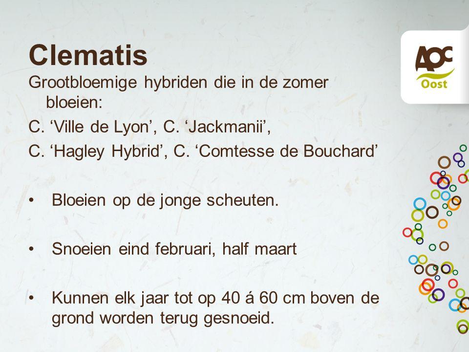 Clematis Grootbloemige hybriden die in de zomer bloeien: C. 'Ville de Lyon', C. 'Jackmanii', C. 'Hagley Hybrid', C. 'Comtesse de Bouchard' Bloeien op
