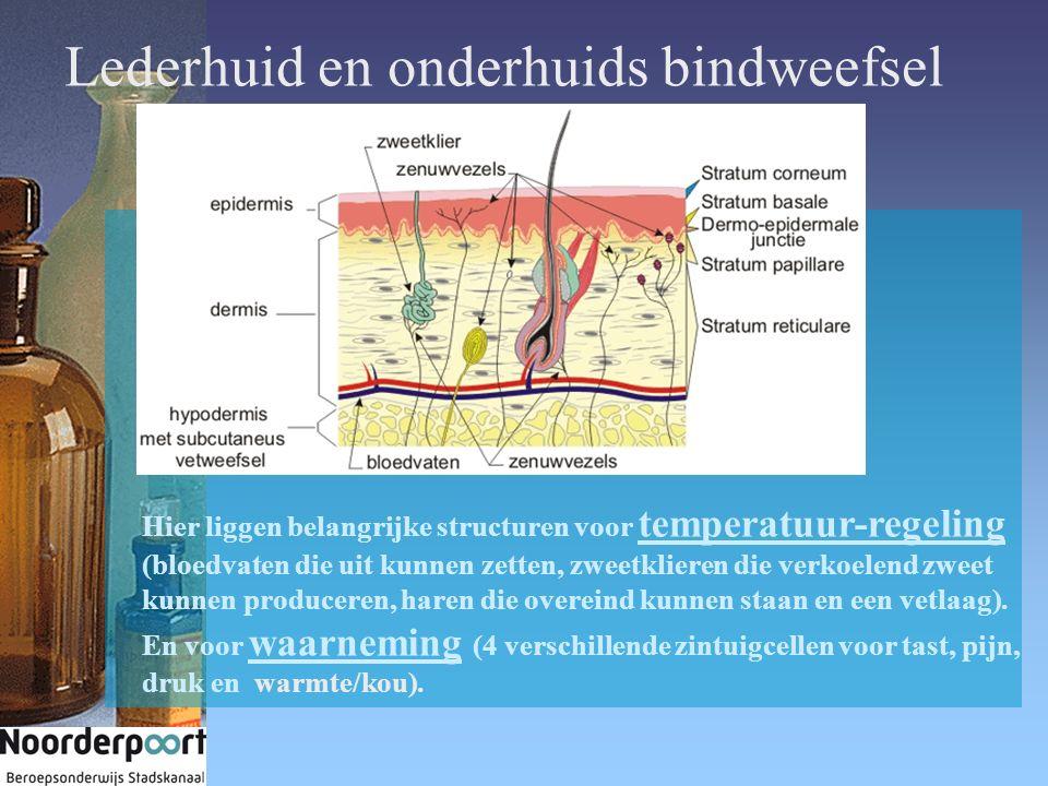 Lederhuid en onderhuids bindweefsel Hier liggen belangrijke structuren voor temperatuur-regeling (bloedvaten die uit kunnen zetten, zweetklieren die v