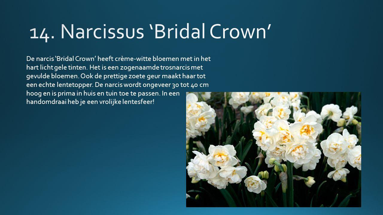 De narcis 'Bridal Crown' heeft crème-witte bloemen met in het hart licht gele tinten.