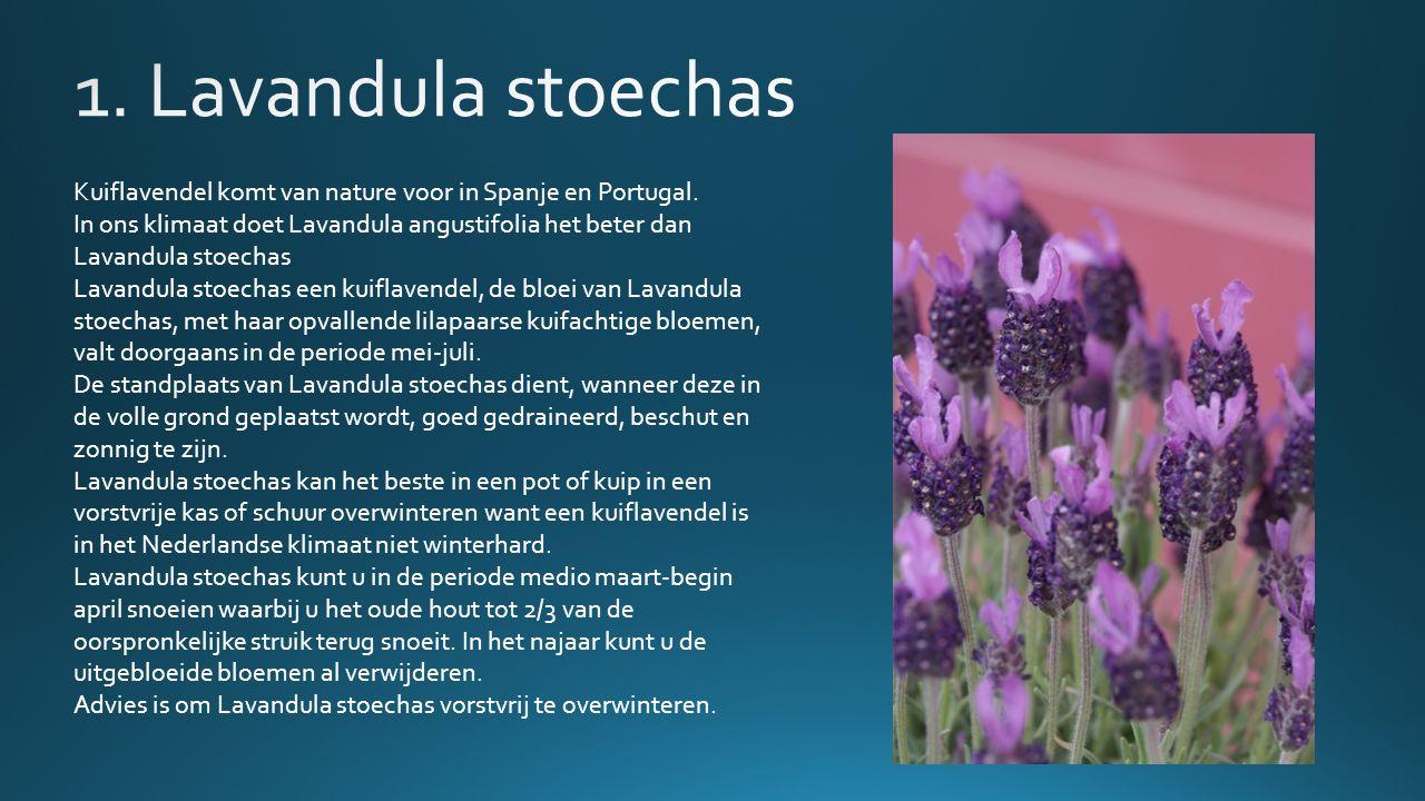 Kuiflavendel komt van nature voor in Spanje en Portugal.