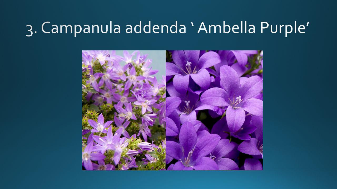 Senecio senetti 'Lavender'