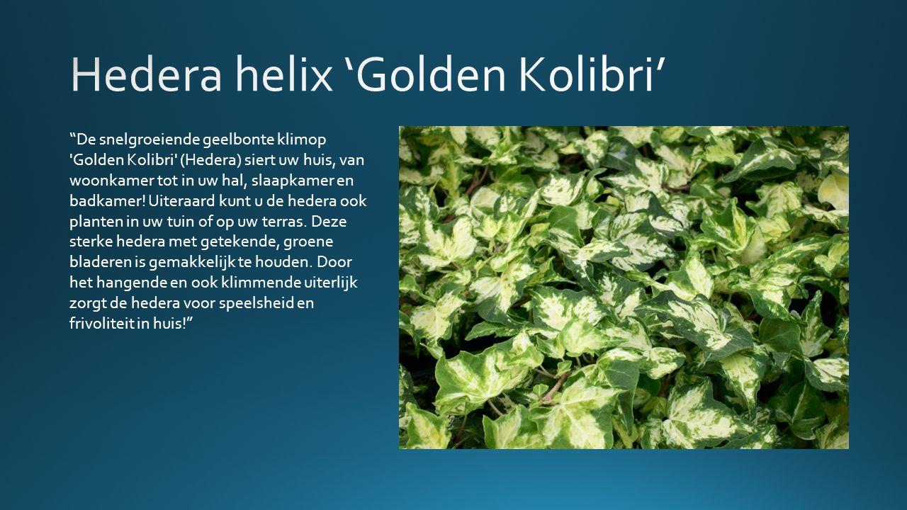 De snelgroeiende geelbonte klimop Golden Kolibri (Hedera) siert uw huis, van woonkamer tot in uw hal, slaapkamer en badkamer.