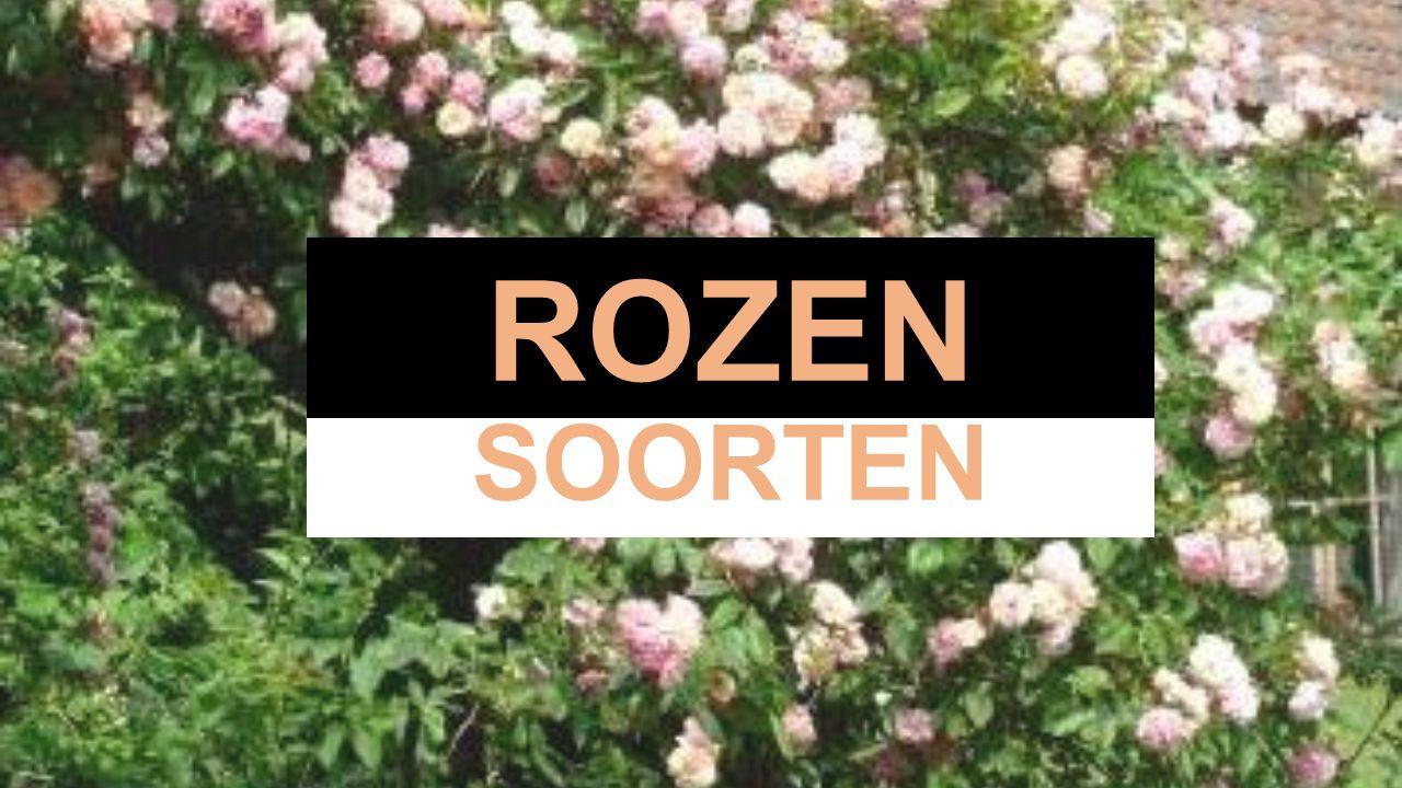 BOTANISCHE ROZEN of wilde rozen Meer dan 100 soorten waaruit meer dan 13.000 cultivars veredeld werden Van nature komen de rozen uit het Noordelijke halfrond, gematigde streken Dankzij de vele veredelingen zijn er ook rozen ontstaan die goed in warme streken gedijen